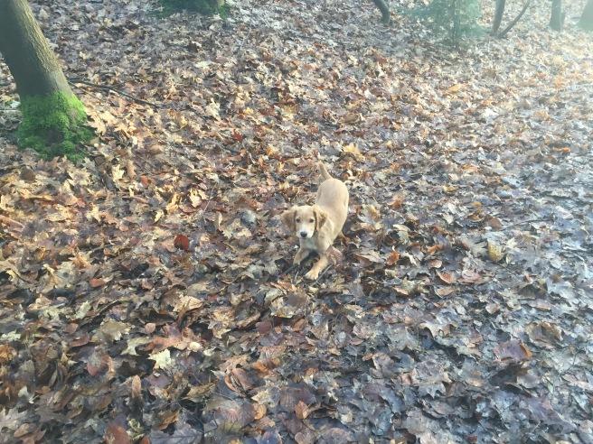 Cocker Spaniel Puppy in leaves