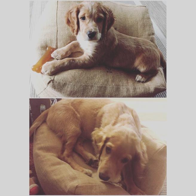 Charlie at 10 weeks vs 20 weeks - he's definitely grown!
