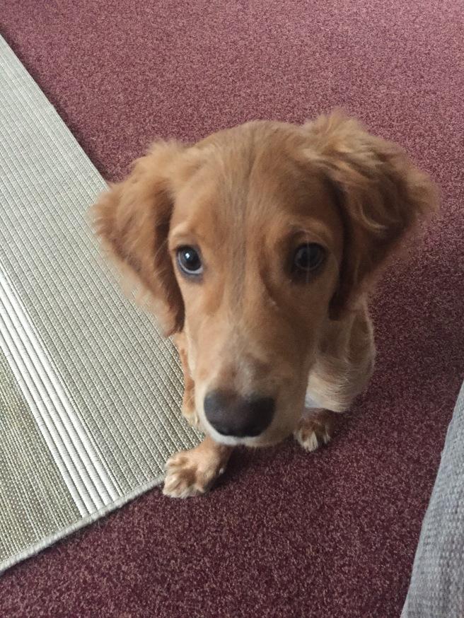 Working Cocker Spaniel puppy at 5 months