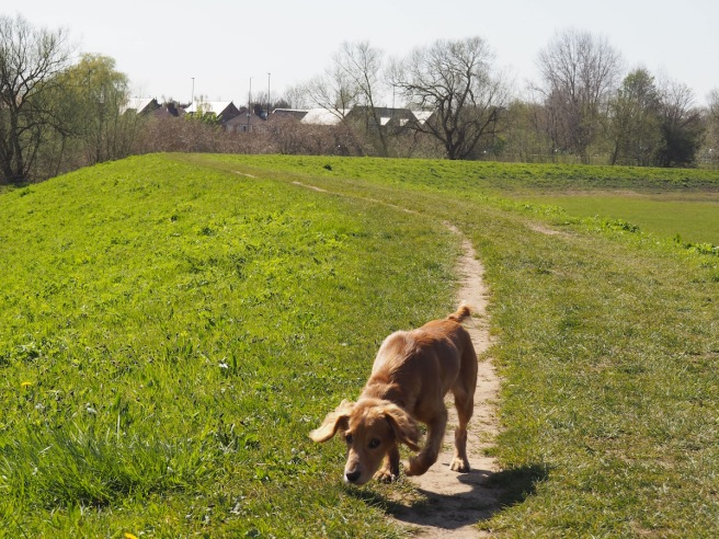 Dog Walk In York