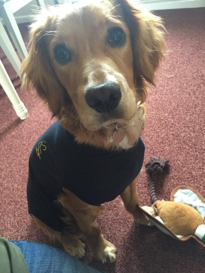 Working Cocker Spaniel Puppy
